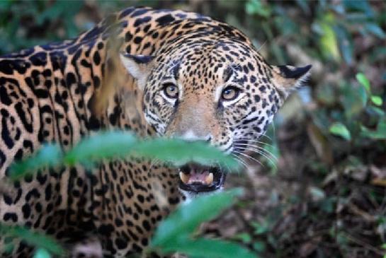 jaguar-alejandro